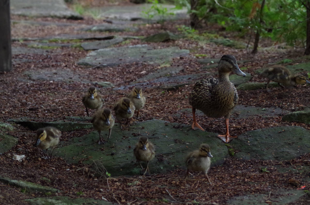"3rd Animals Adult ""Mallard Duckling Squadron"" by Rob Force"